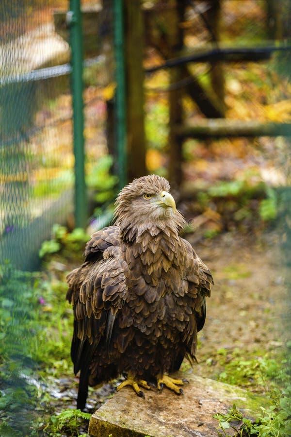 majestueuze gouden adelaar in gevangenschap stock fotografie