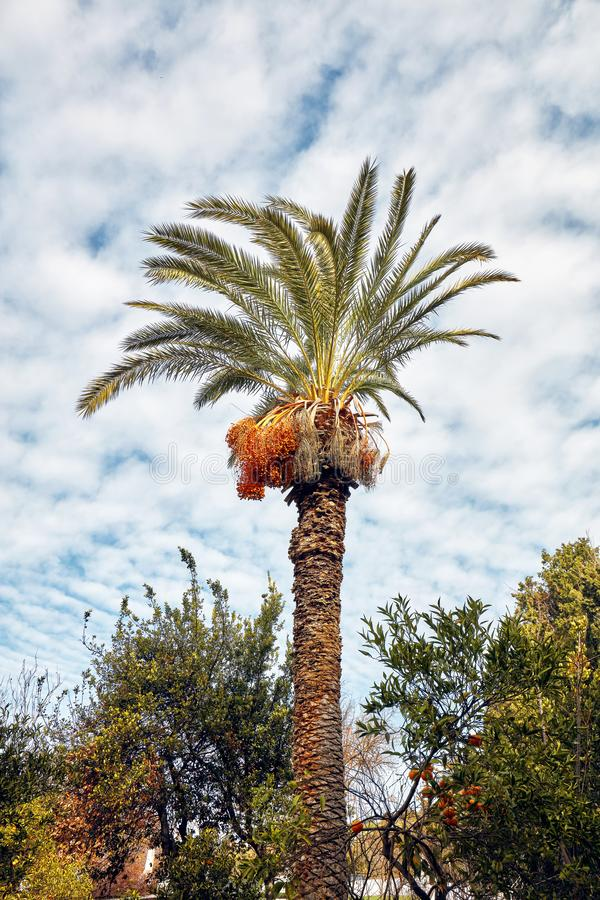 Majestueuze lange palm tegen een bewolkte blauwe hemelachtergrond stock afbeeldingen