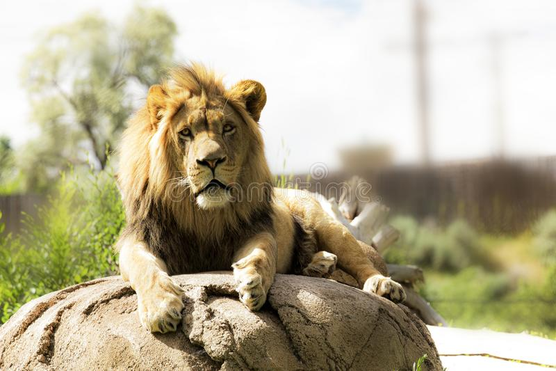 Majestueuze leeuw die in de ochtendzon zonnebaden stock afbeelding