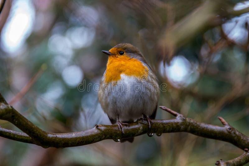 Majestueuze Robin stock afbeeldingen