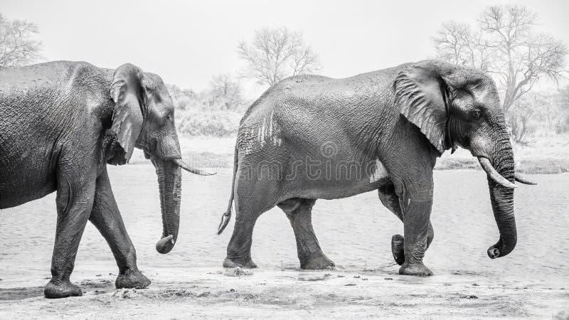Majestueuze safariolifanten stock foto