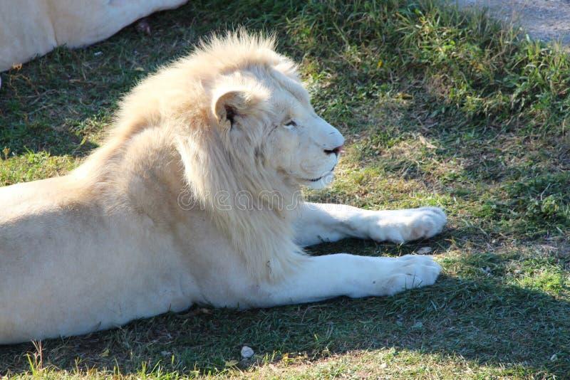 Majestueuze witte leeuw in safaripark royalty-vrije stock afbeeldingen