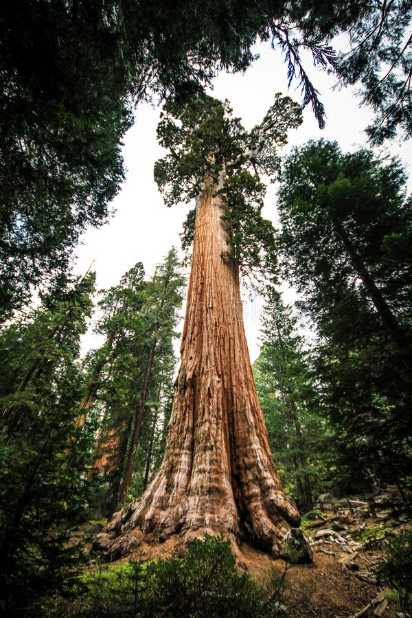 Majestuous巨人,美洲杉国家公园,加利福尼亚,美国 免版税库存图片