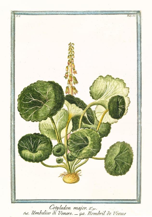 Major do cotilédone ilustração stock