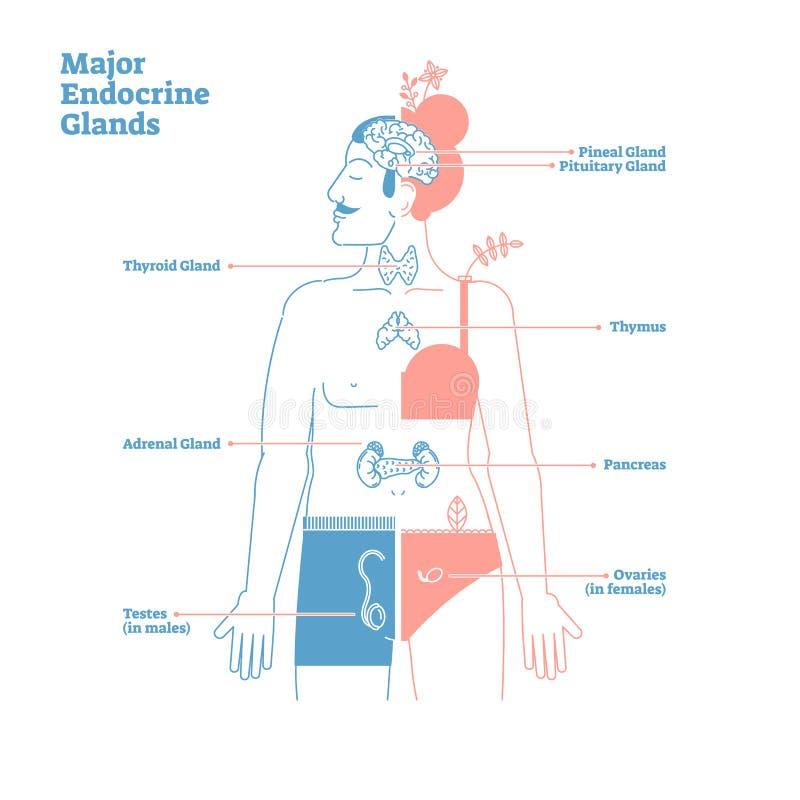 Major Endocrine Glands, diagrama del ejemplo del vector Hormonas del cuerpo humano stock de ilustración