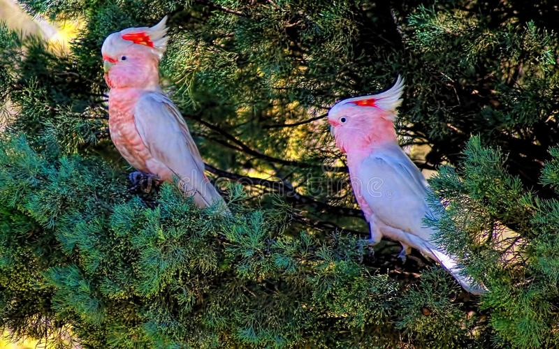 Major Mitchell Birds in Tree. Major Mitchell`s cockatoo is a stunning bird. They are similar to the white cockatoo lineage is the presence of features found royalty free stock photography