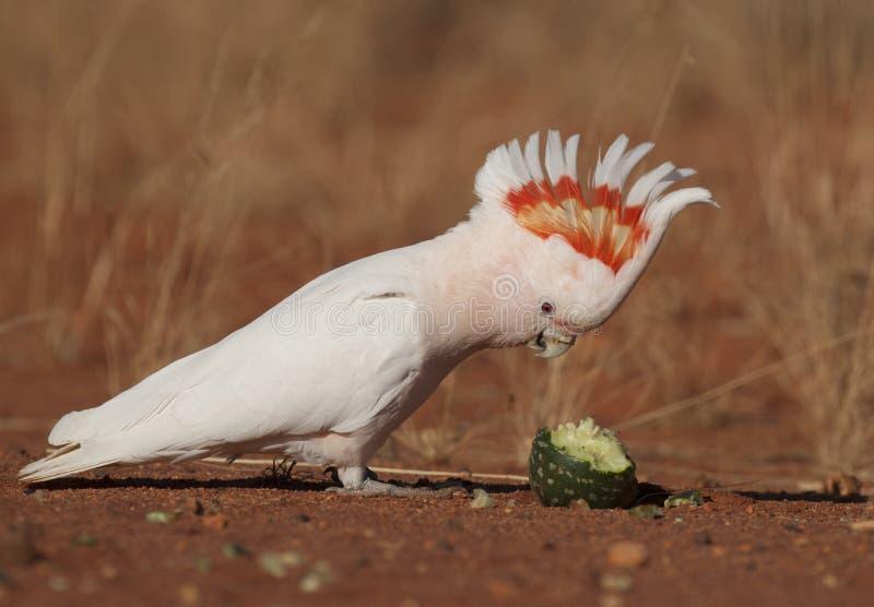 Major mitchell cockatoo feeding royalty free stock images
