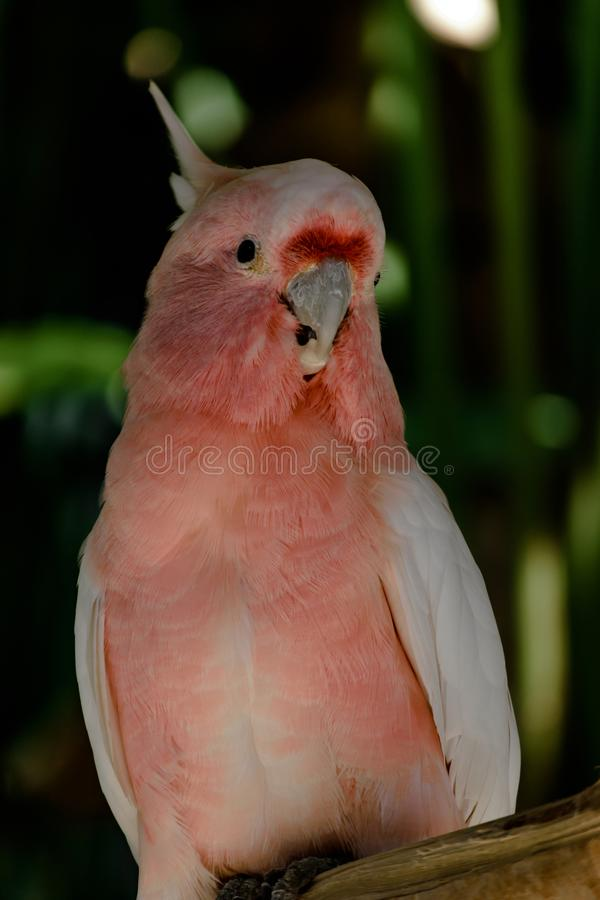 Major Mitchell cockatoo parrot sitting on the branch in front of green palm trees stock photo