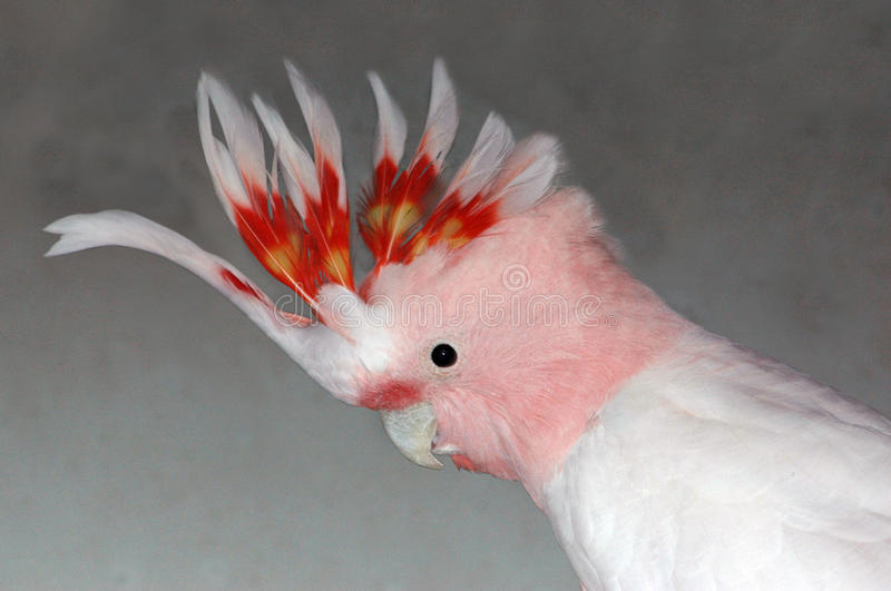 Major mitchell cockatoo royalty free stock images