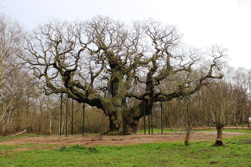 Major Oak Sherwood Forest Nottinghamshire England arkivfoton