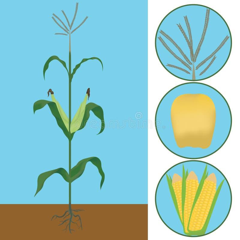 Majs som en växt vektor illustrationer