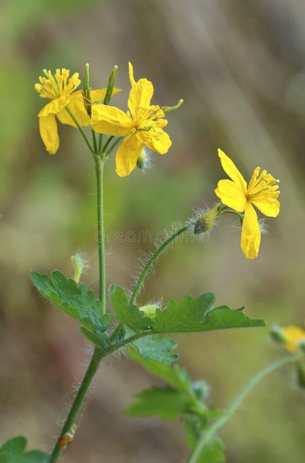 Majus curativo del Chelidonium in fiore immagine stock libera da diritti