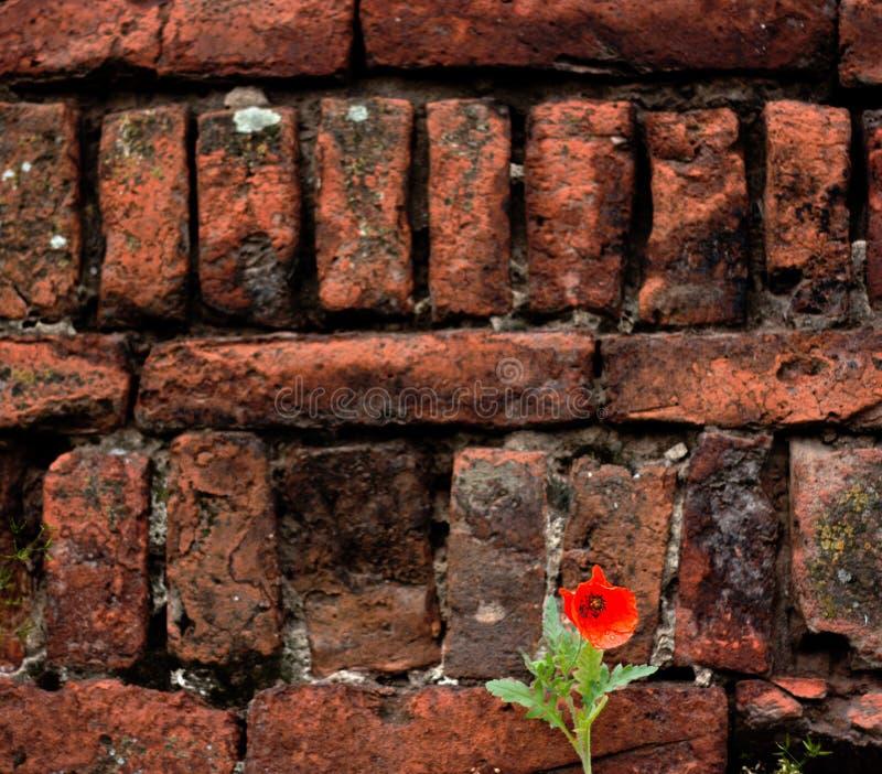 Mak czerwony kwiat stał w pobliżu muru ceglanego obrazy royalty free