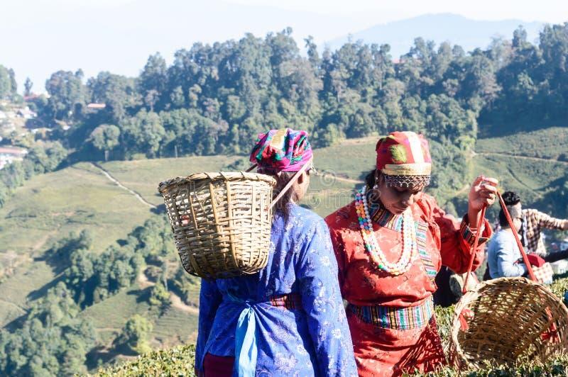 Makaibari herbaciana nieruchomość, Kurseong dolina, Darjeeling, Zachodni Bengalia, India, Maj 2019 - Herbaciane skubarki przy pra fotografia stock