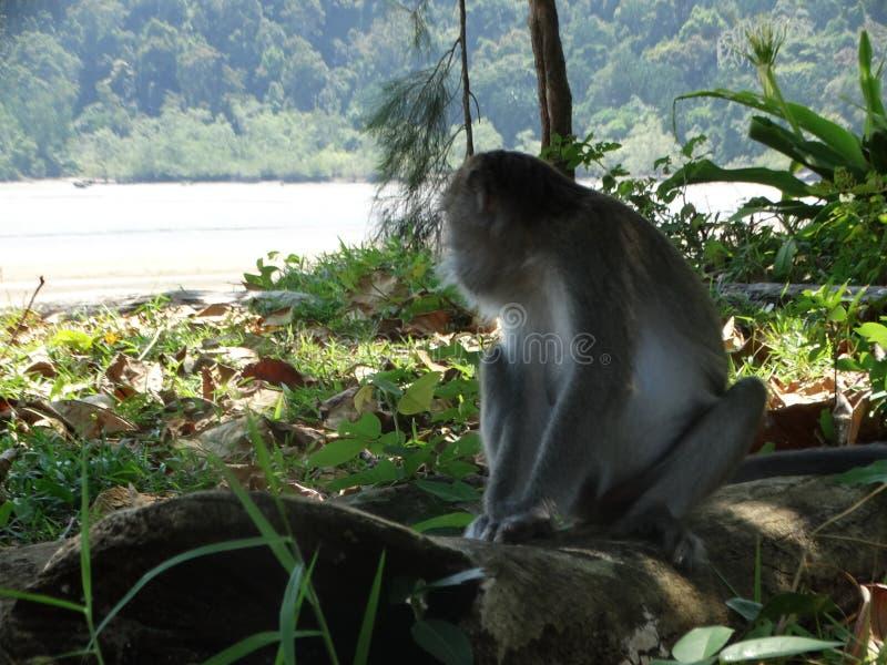 Makak apa i regnskog av Borneo arkivbilder