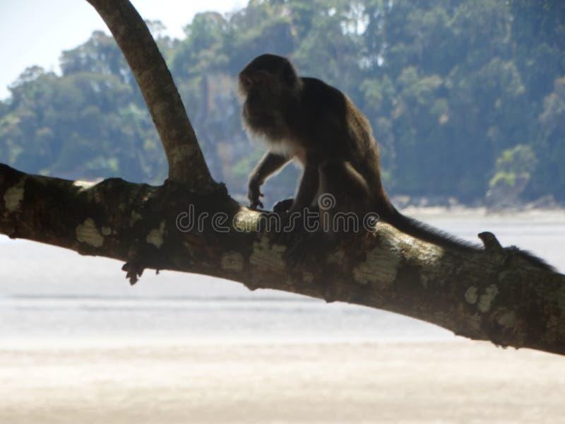 Makak apa i regnskog av Borneo royaltyfria bilder