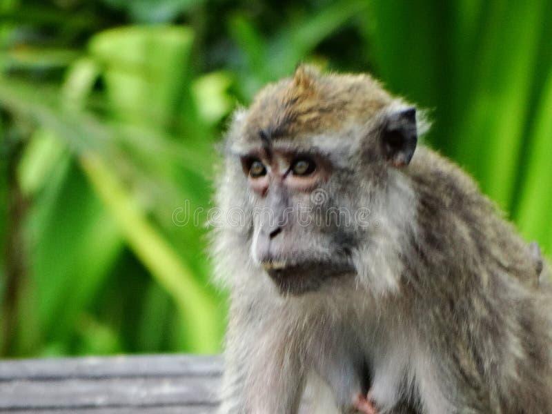 Makak apa i regnskog av Borneo arkivfoton
