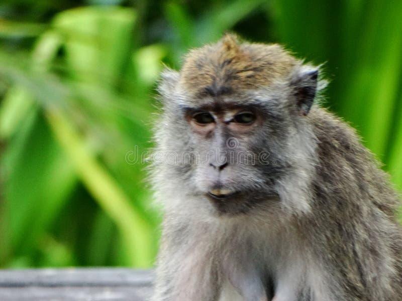 Makak apa i regnskog av Borneo arkivbild