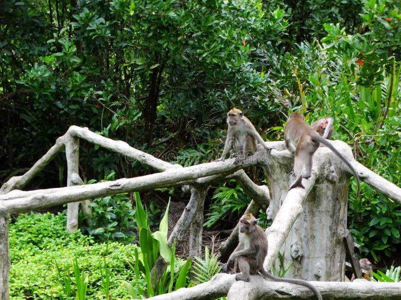 Makak apa i regnskog av Borneo arkivfoto