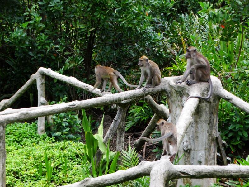 Makak apa i regnskog av Borneo royaltyfri bild