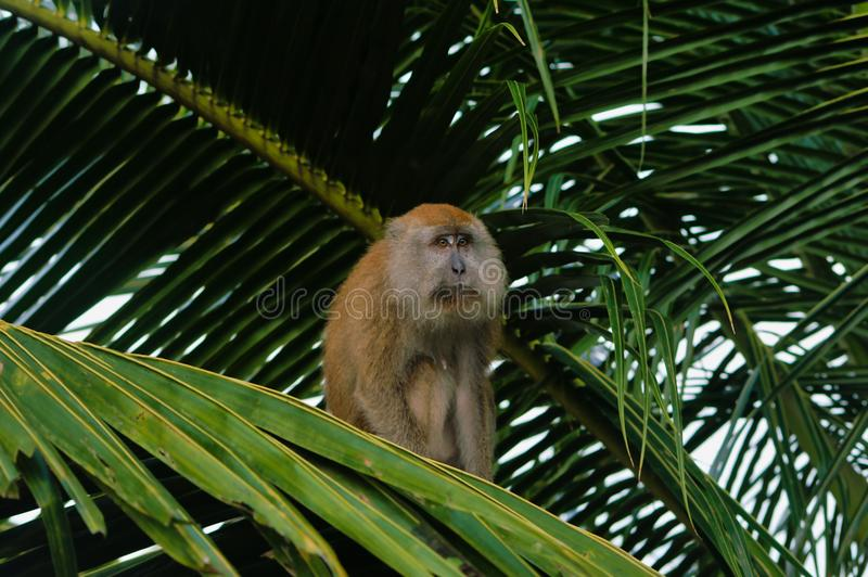 Makak Ape is siting on palm tree giving the impression of sadness. Tioman Island, Malaysia, Asia stock photo