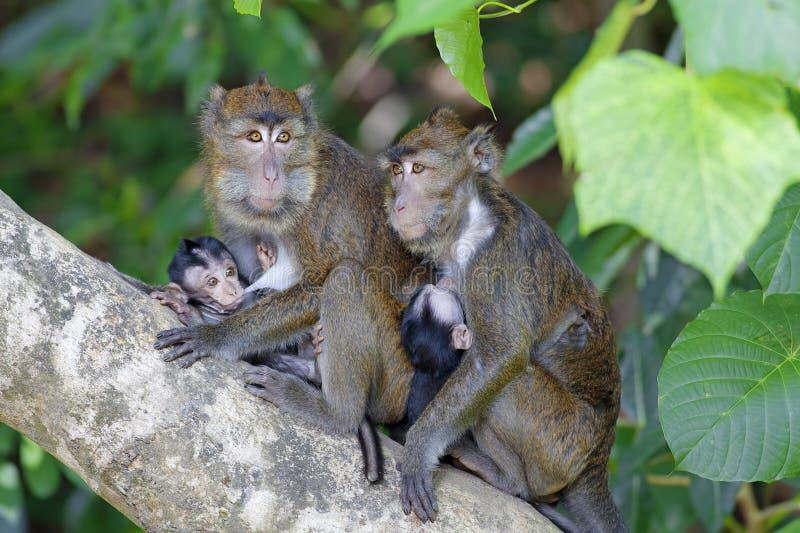 Makak małpa zdjęcia royalty free