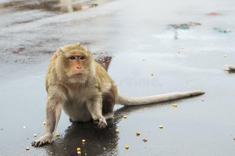 Makak małpa czekać na kukurudz ziarna od turystów obraz royalty free