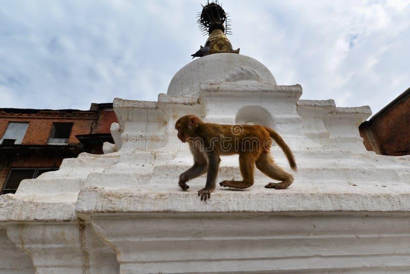 Makak małpa przy Swayambhunath świątynią. Kathmandu, Nepal obrazy stock