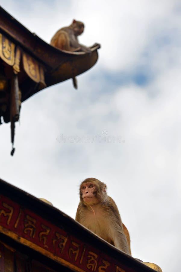 Makak małpa przy Swayambhunath świątynią. Kathmandu, Nepal zdjęcie royalty free