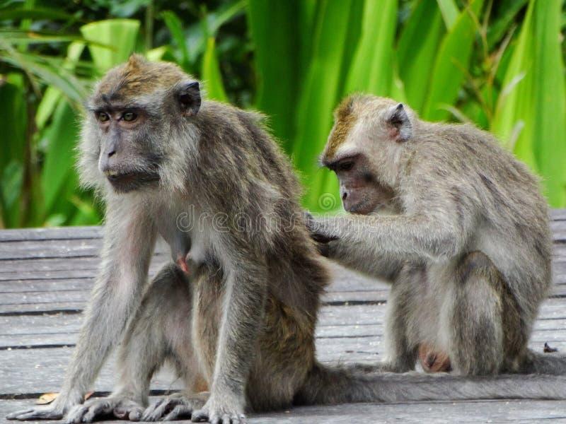 Makak małpa w lesie tropikalnym Borneo fotografia stock