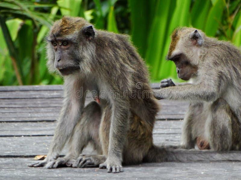 Makak małpa w lesie tropikalnym Borneo zdjęcia royalty free