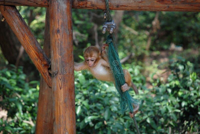 Makak małpy zdjęcie royalty free