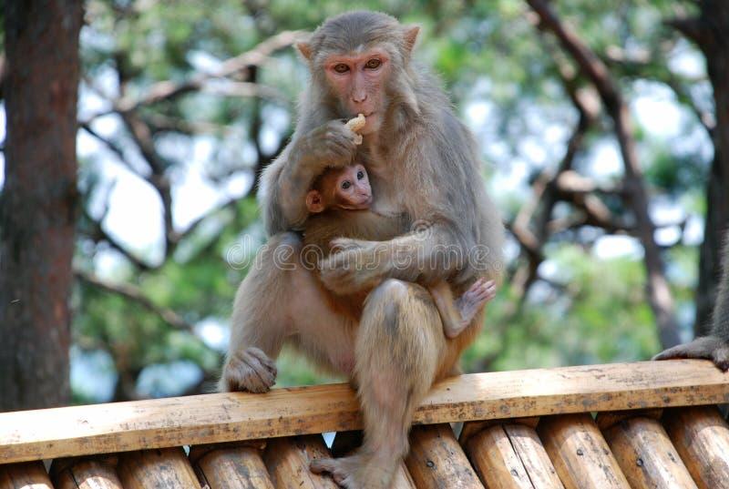 Makak małpy zdjęcia stock
