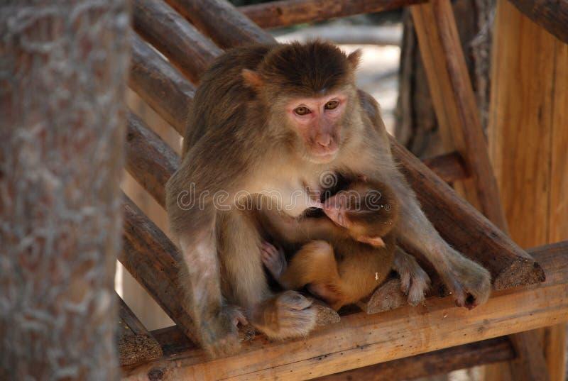 Makak małpy obrazy royalty free