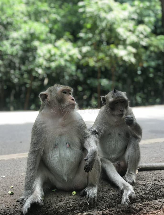 Makak przy Angkor Wat zdjęcia stock