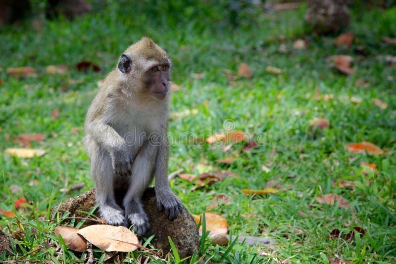 Makak w Mauritius obraz royalty free