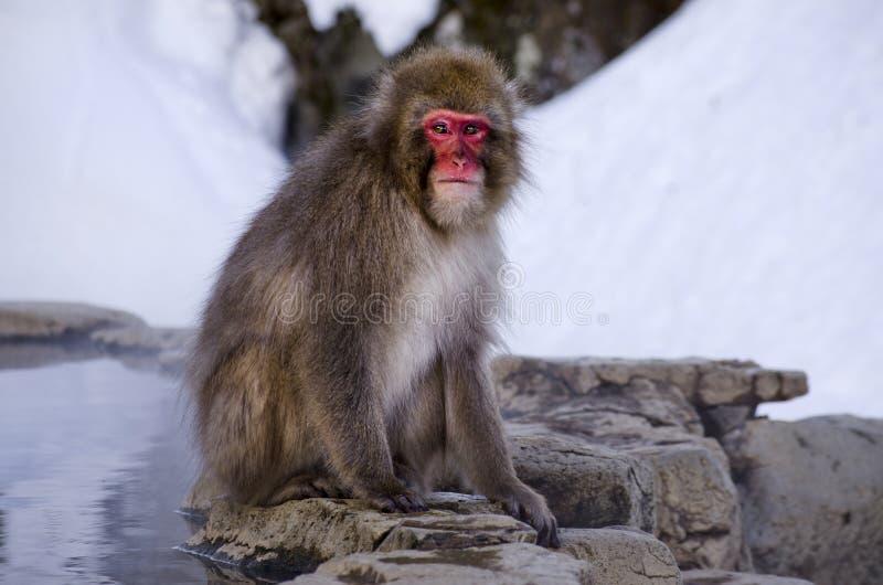 Makaka śniegu małpa Gorącą wiosną obrazy stock