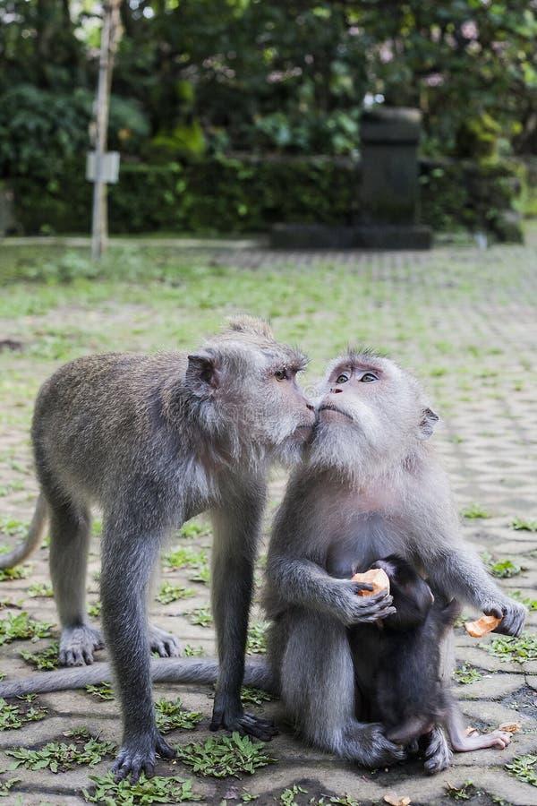 Makaka całowanie w zielonym Ubud małpy lesie, Bali, Indonezja obraz stock