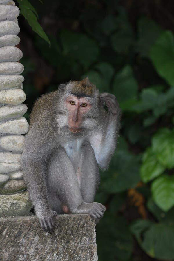 makaka długi ogon zdjęcia royalty free