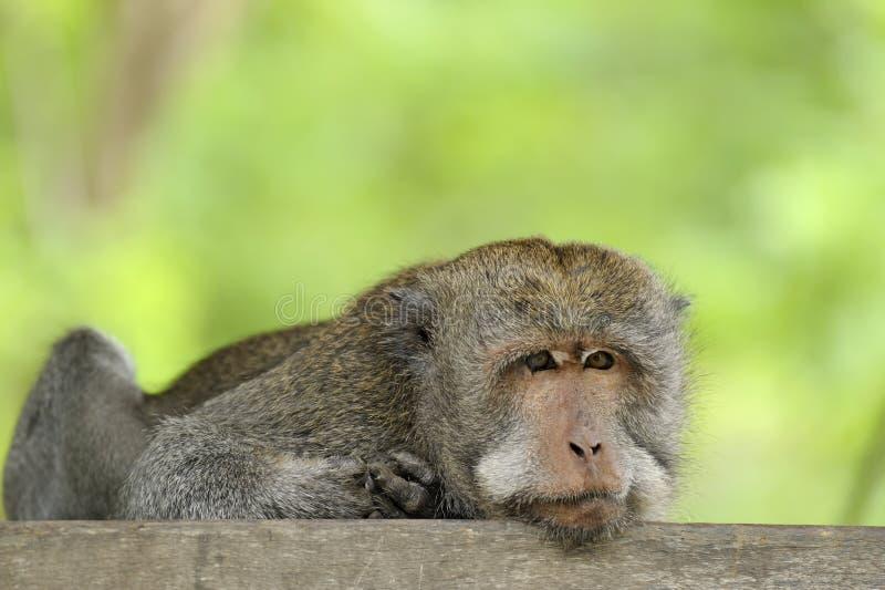 makaka długi ogon zdjęcie royalty free