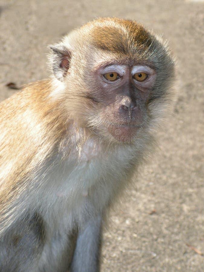 makaka gapienia długi ogon zdjęcia royalty free