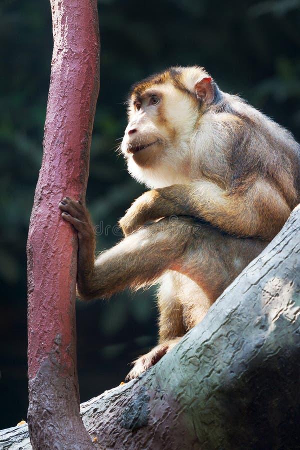 Makaka Magot Macaca sylvanus, Barbary makak/, zoologiczny ogród, Troja okręg, Praga, republika czech zdjęcie stock