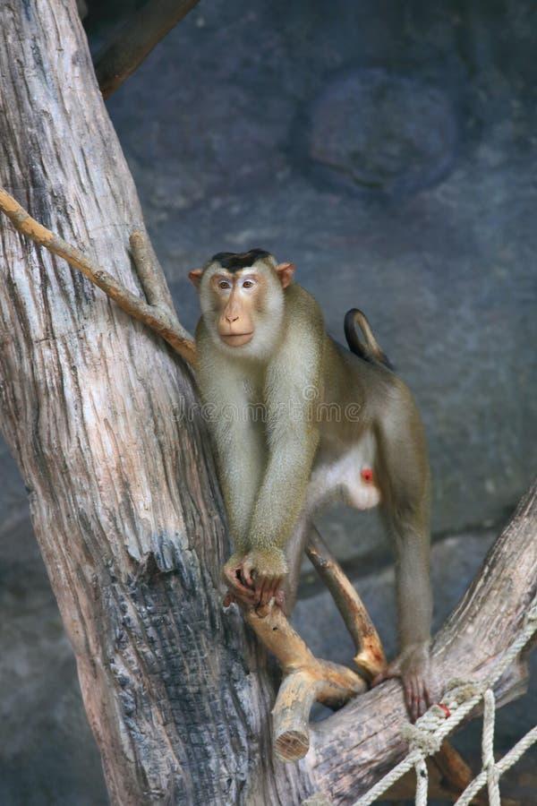 makaka ogoniasty świniowaty południowy obrazy royalty free