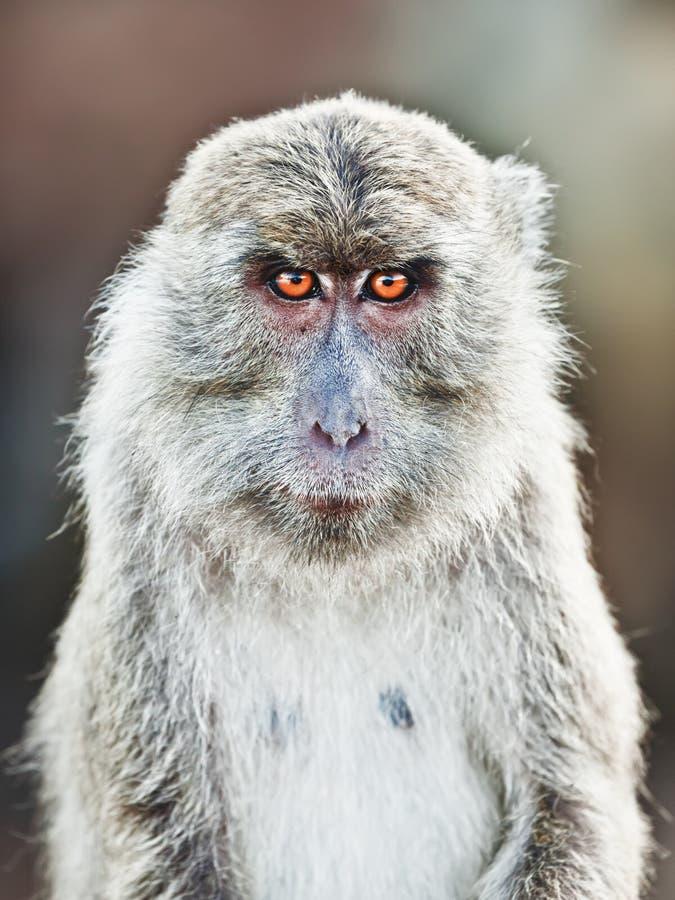 makaka portret zdjęcie royalty free
