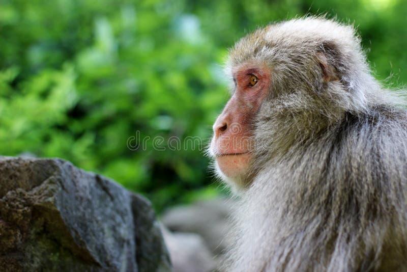 Makaka profil versus skała fotografia royalty free