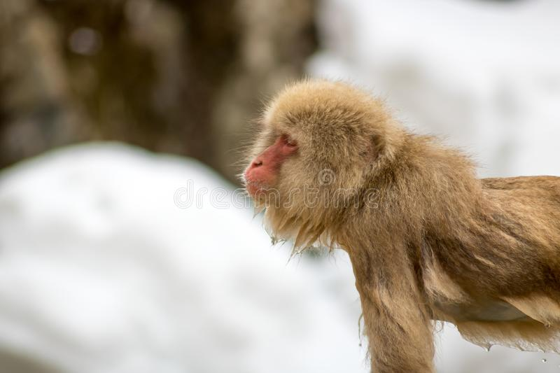 Makaken kommt aus heiße Quelle, Nagano Japan heraus stockfotografie
