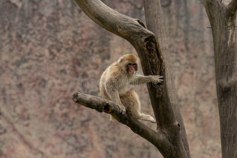 Makaken-Macaca mulatta lizenzfreie stockfotografie