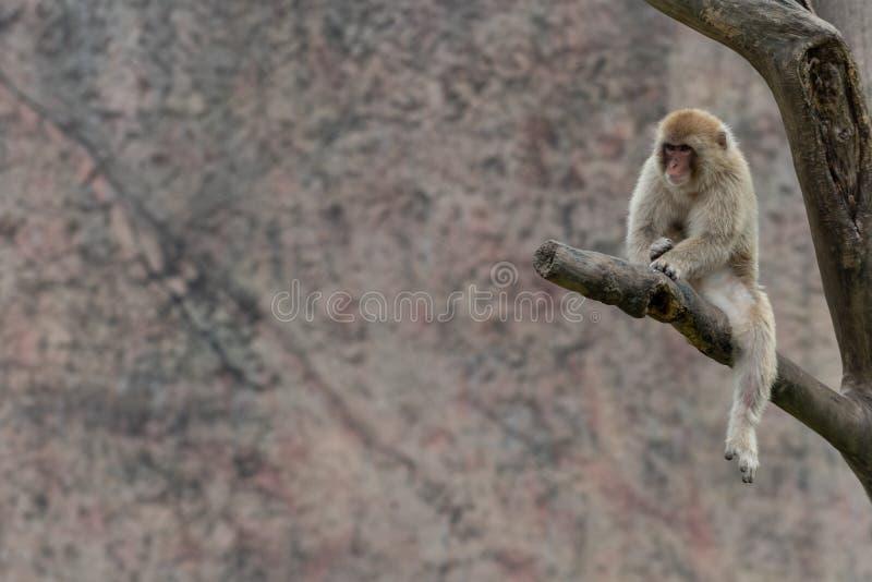 Makaken-Macaca mulatta stockfoto