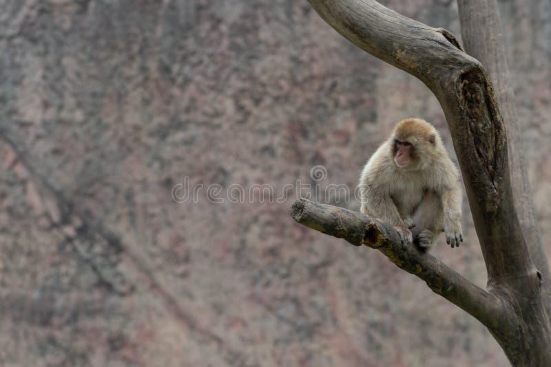 Makaken-Macaca mulatta stockbild