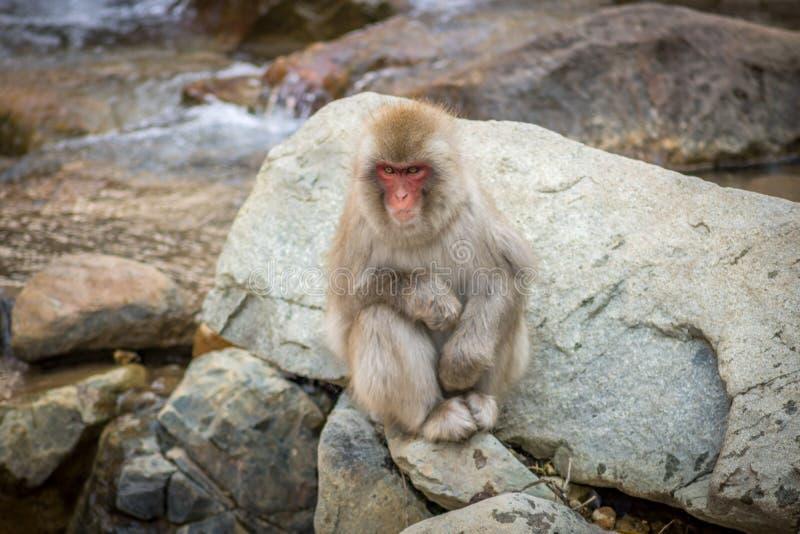 Makaken sitzt auf Felsen stockfotos